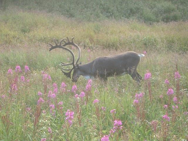 Caribou_bull_1
