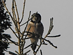 Northern_Hawk_Owl.jpg