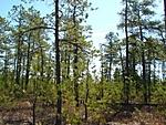 Pines_3-21-09_01.jpg