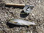 East_Walker_River_Trout.jpg